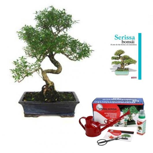 Pack bonsaï d'intérieur Serissa phoetida 16 ans