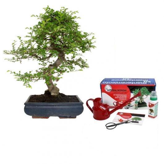 Pack bonsái de interior Zelkova parvifolia 16 años