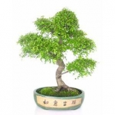 Zelkova parvifolia 22yrs old CHINESE ELM
