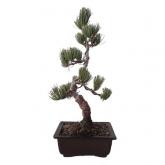 Pinus pentaphylla 12yrs old