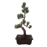 Pinus pentaphylla 12 anos