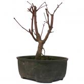 Acer palmatum deshojo 8 anni nano ACERO