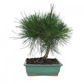 Pinus thunbergii 8 anos
