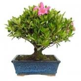 Rhododendron indicum oito anos AZALEA