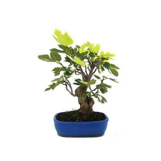 Ficus carica 17 anni FICO