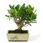 Ficus retusa 5 años Feng Shui