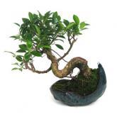 Ficus retusa 8 años Kurama