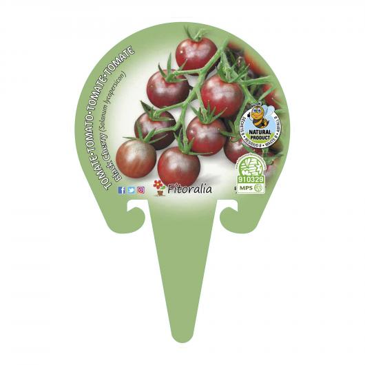 Plantón ecológico de Tomate Black Cherry maceta 10,5 cm de diámetro