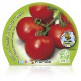 Cambada de mudas de tomateiro ecológica pot diâmetro 10,5 centímetros