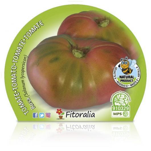 Plantón ecológico de  Tomate Rosa maceta 10,5 cm de diámetro