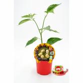 Plantón ecológico de  Picante Habanero Blanco maceta 10,5 cm de diámetro