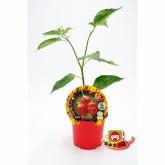 Plantón ecológico de  Picante Habanero Rojo maceta 10,5 cm de diámetro