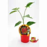 Spicy Thai ecológica pote de mudas 10,5 centímetros de diâmetro
