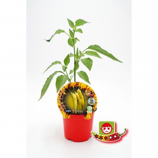 Plantón ecológico de  Picante Hot Banana maceta 10,5 cm de diámetro