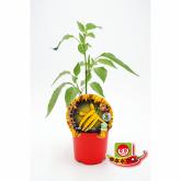 Plantón ecológico de  Picante Hot Lemon maceta 10,5 cm de diámetro