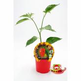 Plantón ecológico de  Picante Naga Morich maceta 10,5 cm de diámetro