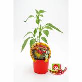 Spicy Cayenne ecológica pote de mudas 10,5 centímetros de diâmetro