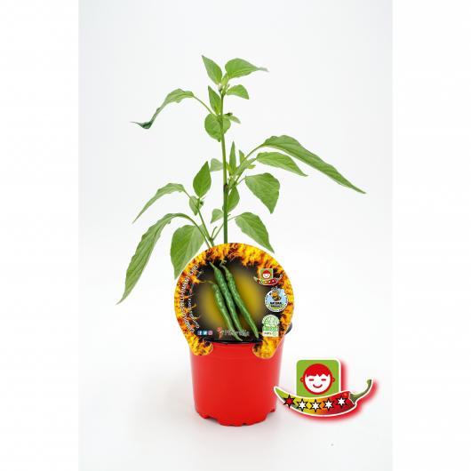 Plantón ecológico de  Picante Guindilla Vasca maceta 10,5 cm de diámetro
