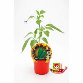 Plantón ecológico de  Jalapeño maceta 10,5 cm de diámetro