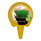 Plantón ecológico de  Hierba Para Gatos maceta 10,5 cm de diámetro