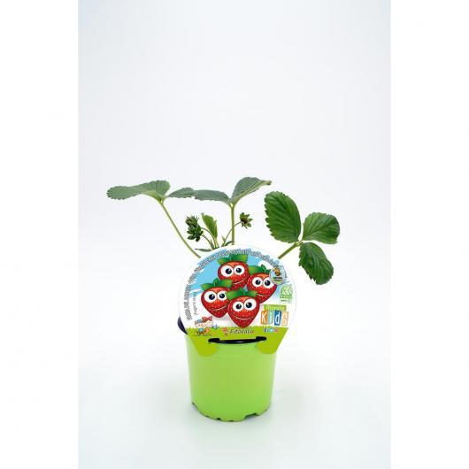Plantón ecológico de  Fresita De Bosque Colección KIDS maceta 10,5 cm de diámetro