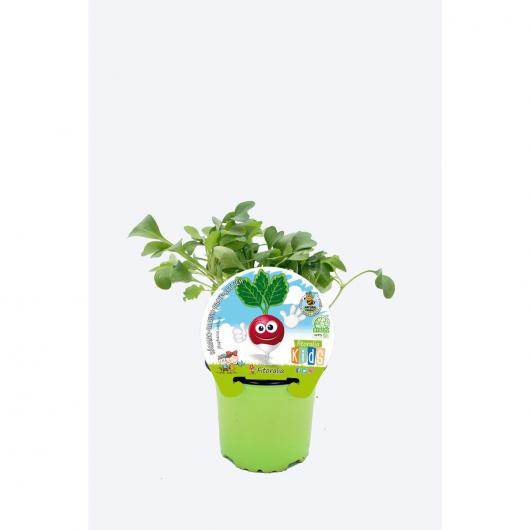 Plantón ecológico de  Rábano Colección KIDS maceta 10,5 cm de diámetro