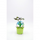 Pepino Mudas Coleção Eco KIDS pot diâmetro 10,5 centímetros