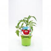 Tomate Mudas ecológica Muchamiel KIDS Coleção pot diâmetro 10,5 centímetros