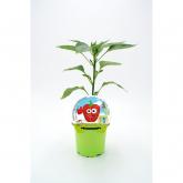 Red Pepper Mudas KIDS ecológicos Coleção pot diâmetro 10,5 centímetros