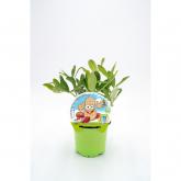 Amendoim Mudas Coleção Eco KIDS pot diâmetro 10,5 centímetros