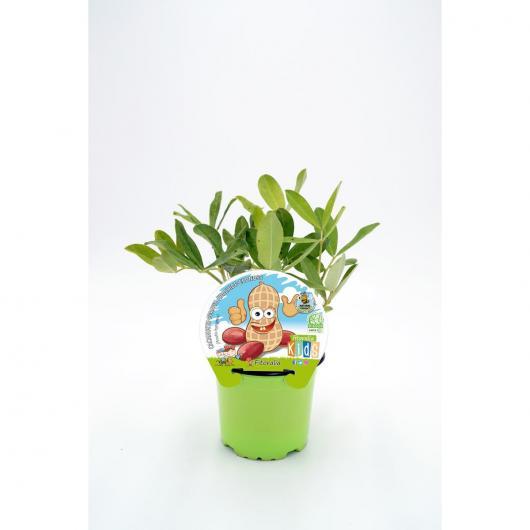 Plantón ecológico de  Cacahuete Colección KIDS maceta 10,5 cm de diámetro