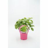 Pot mudas Ecológica Basil Broadleaf 10,5 centímetros de diâmetro