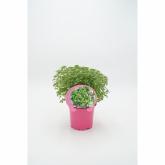 Ecological Basil Folha Planta pequeno vaso 10,5 centímetros de diâmetro