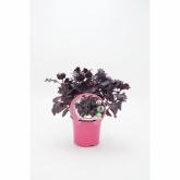 Mudas de manjericão roxo ecológica pot diâmetro 10,5 centímetros