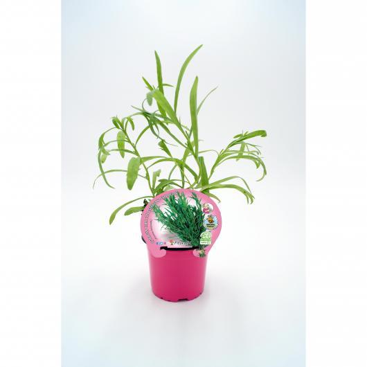 Plantón ecológico de  Estragón maceta 10,5 cm de diámetro