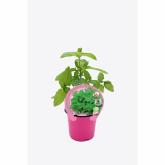 Mudas Mint ecológico (Good Herb) pot diâmetro 10,5 centímetros