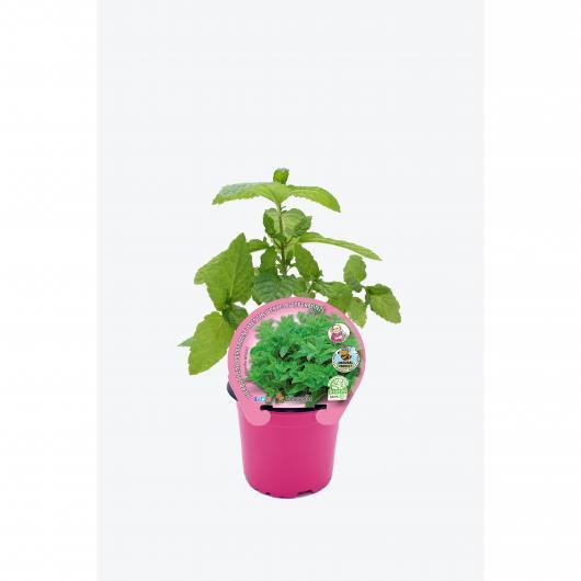 Plantón ecológico de  Menta (Hierba Buena) maceta 10,5 cm de diámetro