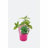 Plantón ecológico de  Menta Piperita maceta 10,5 cm de diámetro