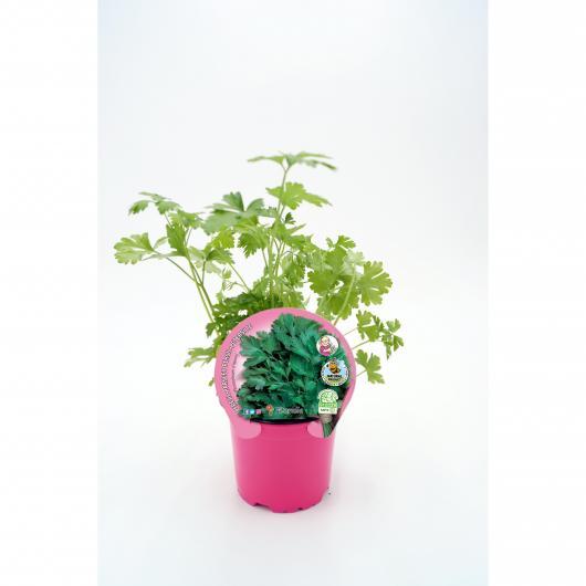 Plantón ecológico de  Perejil maceta 10,5 cm de diámetro