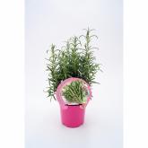 Plantón ecológico de  Romero maceta 10,5 cm de diámetro