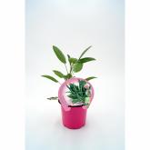 Salvia ecológica pote de mudas 10,5 centímetros de diâmetro