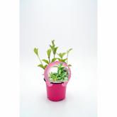 Stevia mudas ecológica pot 10,5 centímetros de diâmetro