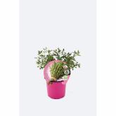 Plantón ecológico de  Tomillo maceta 10,5 cm de diámetro