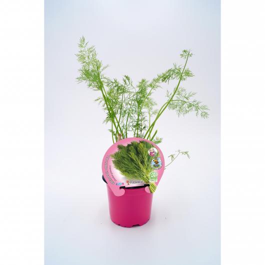 Plantón ecológico de  Eneldo maceta 10,5 cm de diámetro