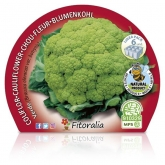 Couve-flor Mudas Verde Eco Pack 6 ud.