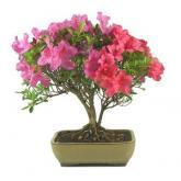 Rhododendron indicum 12 anos AZALÉIA