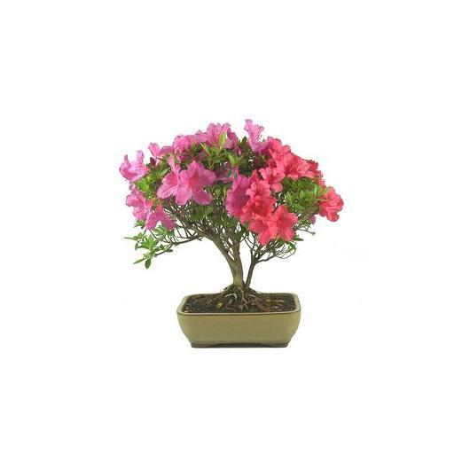 Rhododendron indicum (Azalée des fleuristes) 12 ans