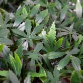 Treillis extensible érable vert