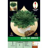 Bulbe rose de Jéricho 1 pièce