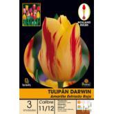 Bolbo Tulipa Darwin amarelo com estrías vermelhas, 3 ud